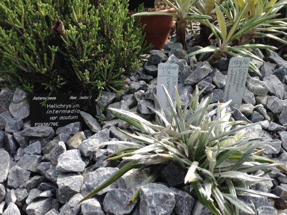 Helichrysum intermedium, Celmisia longifolia, Celmisia spectabilis
